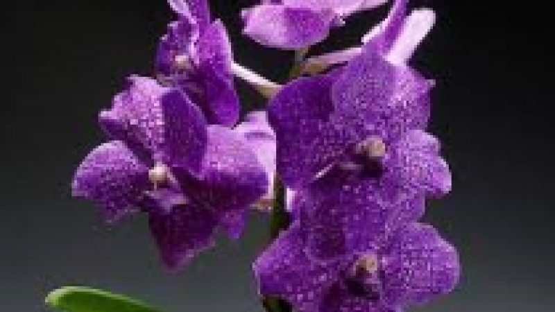 Spring Spectacular of Orchids